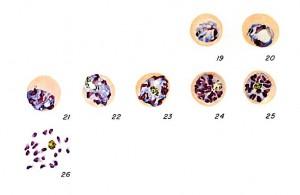falciparum schizont CDC